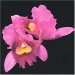 Orchid - Cover